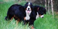 Berneńczyki, Hodowla Berneński Pies Pasterski