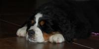 Galeria Hodowla Berneński Pies Pasterski