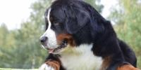 Galeria Hodowla Berne�ski Pies Pasterski